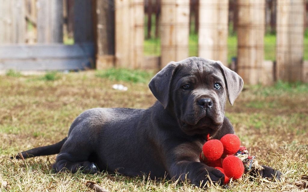 Italian Mastiff Puppies Breed Information Puppies For Sale