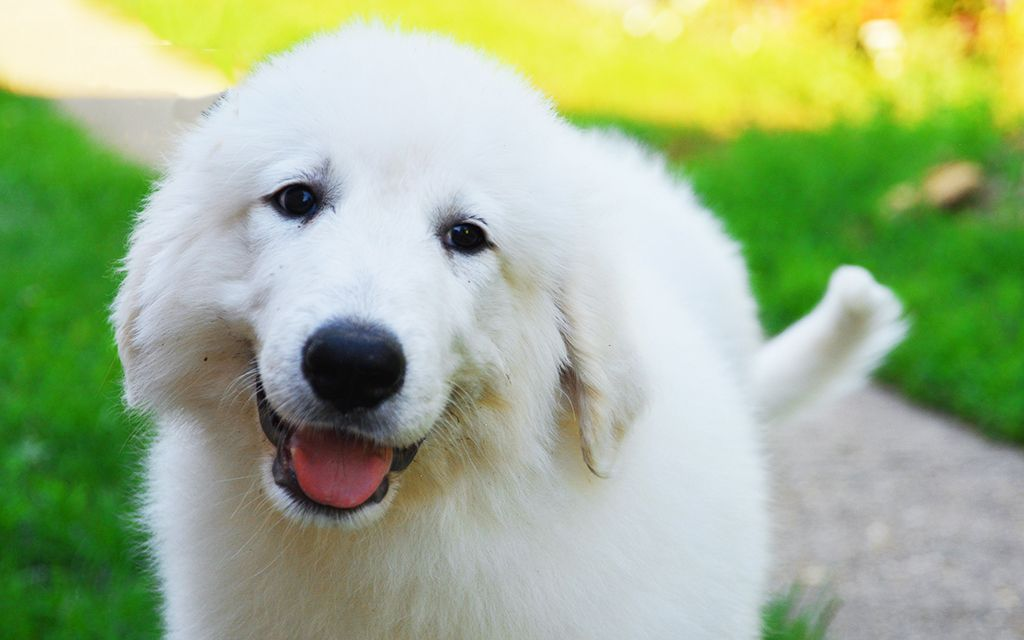 White Great Pyrenees picture