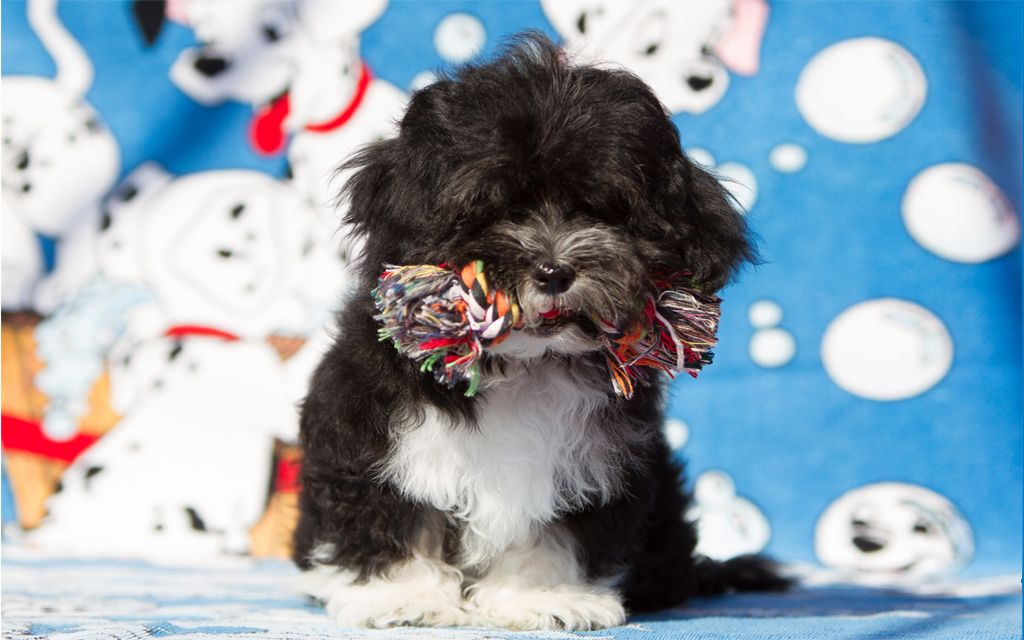 Sable White Havanese Puppy picture