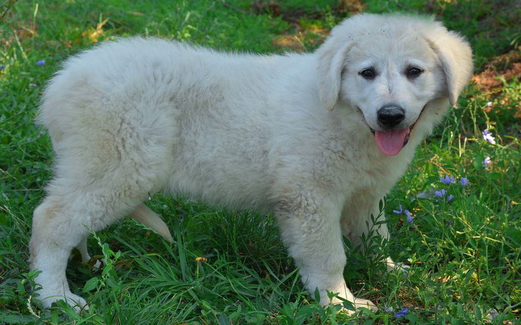 Kuvasz Puppy picture