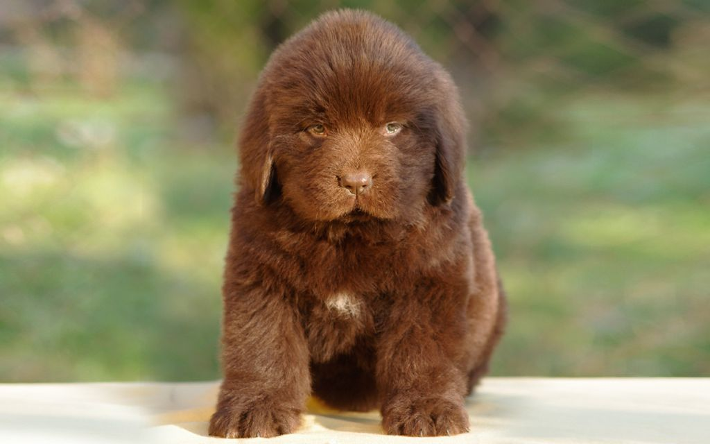 Brown Newfoundland Puppy image