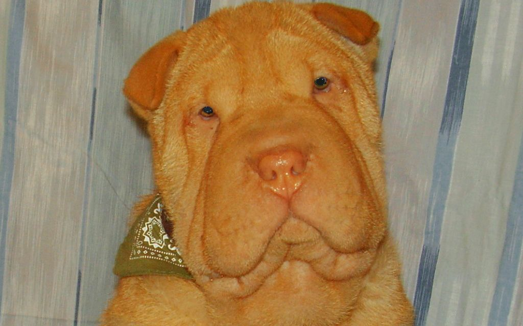 Peach Shar Pei Puppy picture