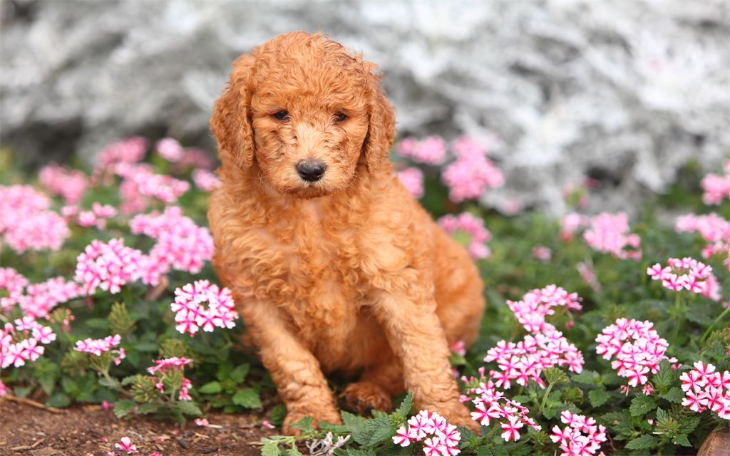 Red Standard Poodle Puppy picture