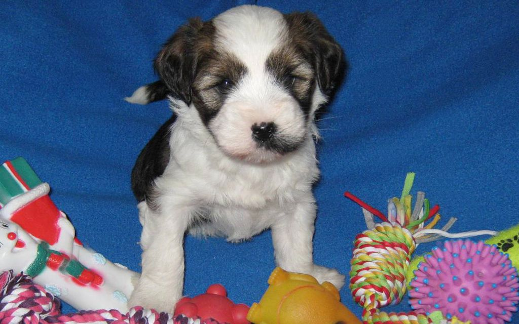 White with markings Tibetan Terrier Puppy picture