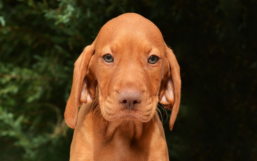 Red Vizsla Puppy picture