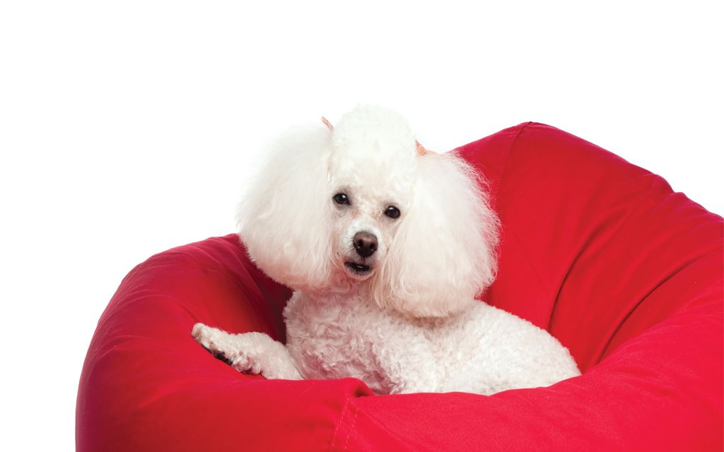 Toy Poodle picture