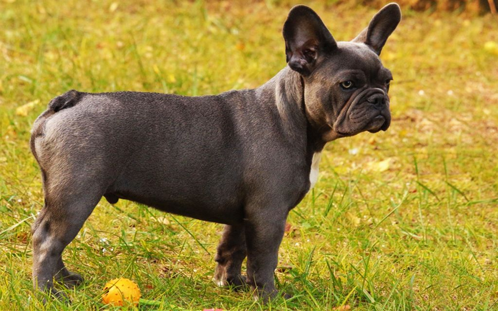 Blue French Bulldog picture