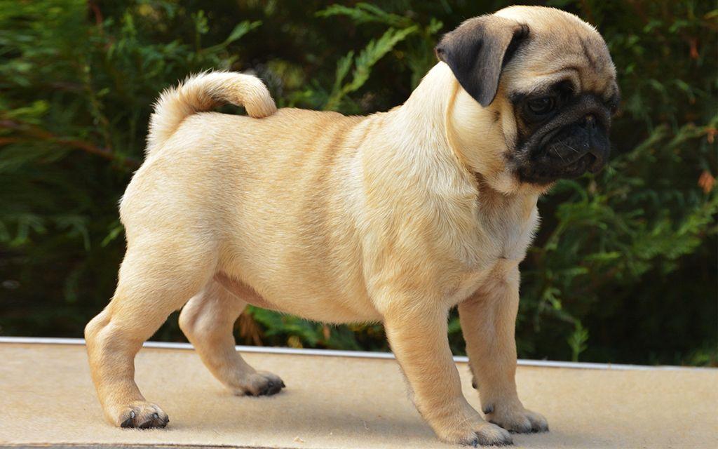 Creme Pug Puppy picture