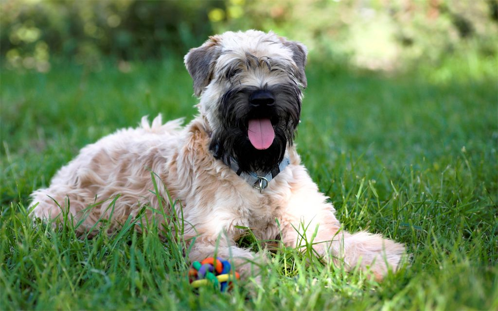 Soft Coated Wheaten Terrier picture