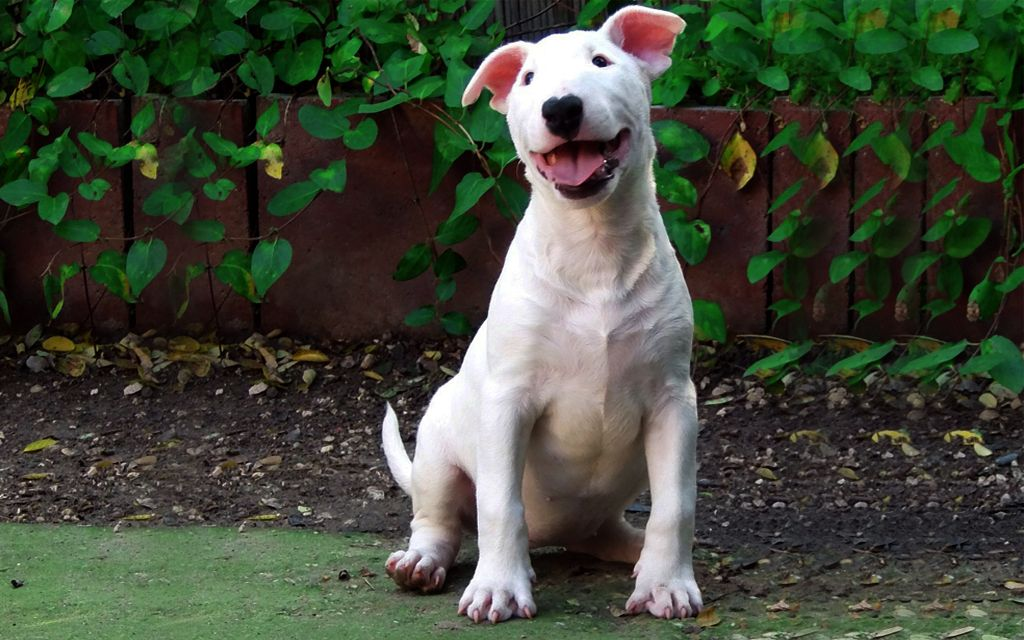 White Bull Terrier picture
