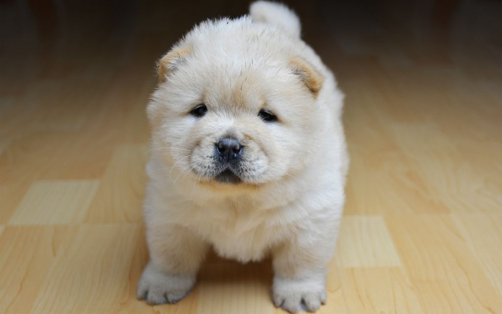 Cream Chow Chow Puppy picture