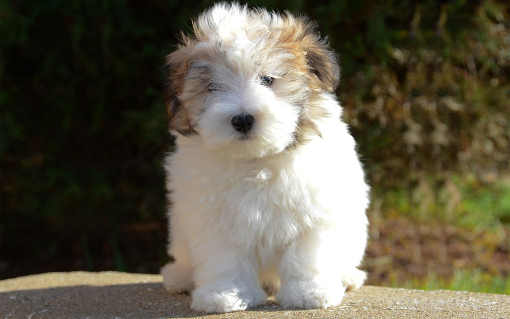 White with markings Havanese Puppy picture