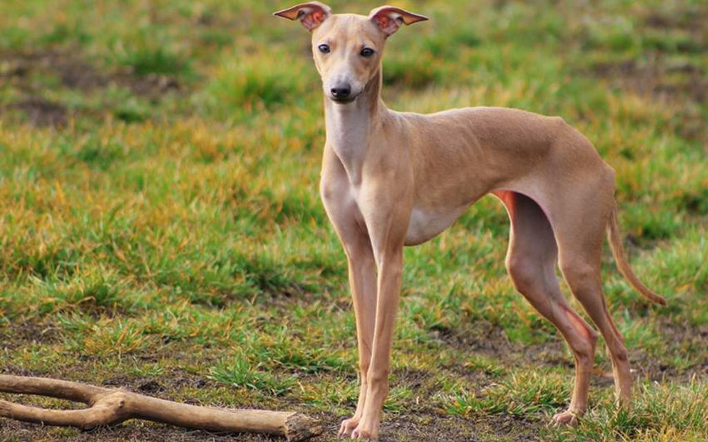 Beige Italian greyhound picture