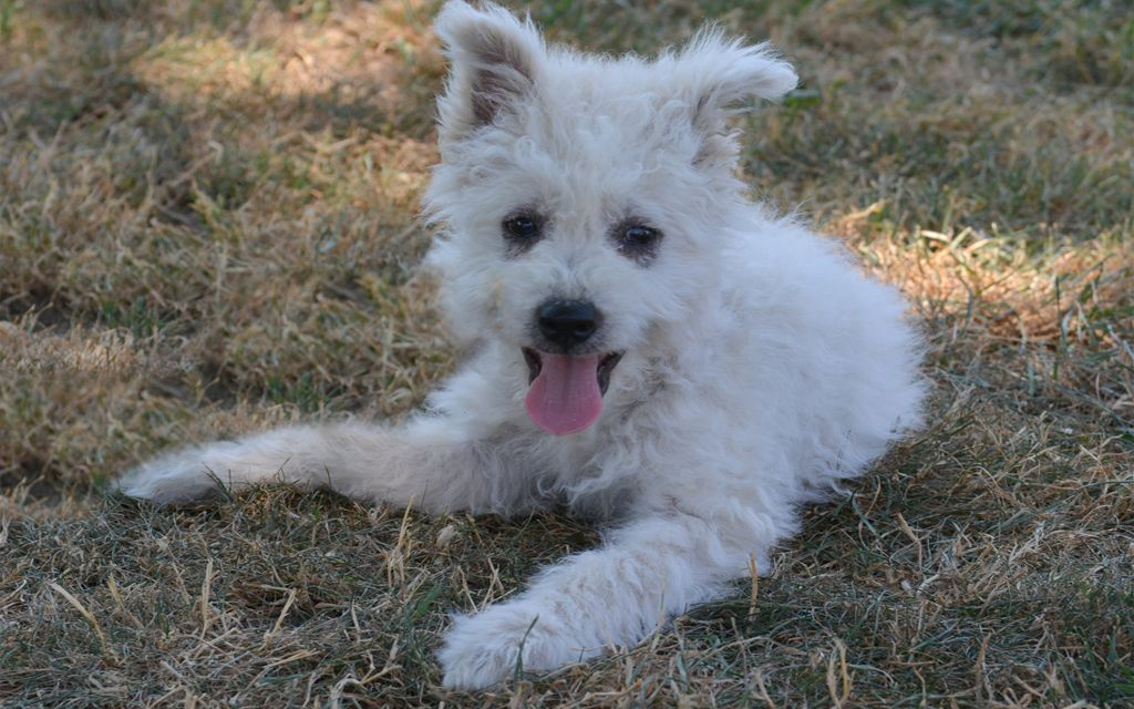 White Pumi Puppy picture