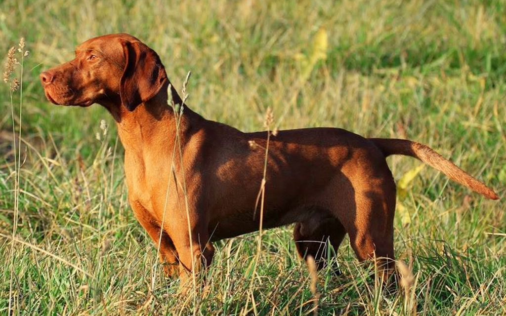 Red Vizsla picture