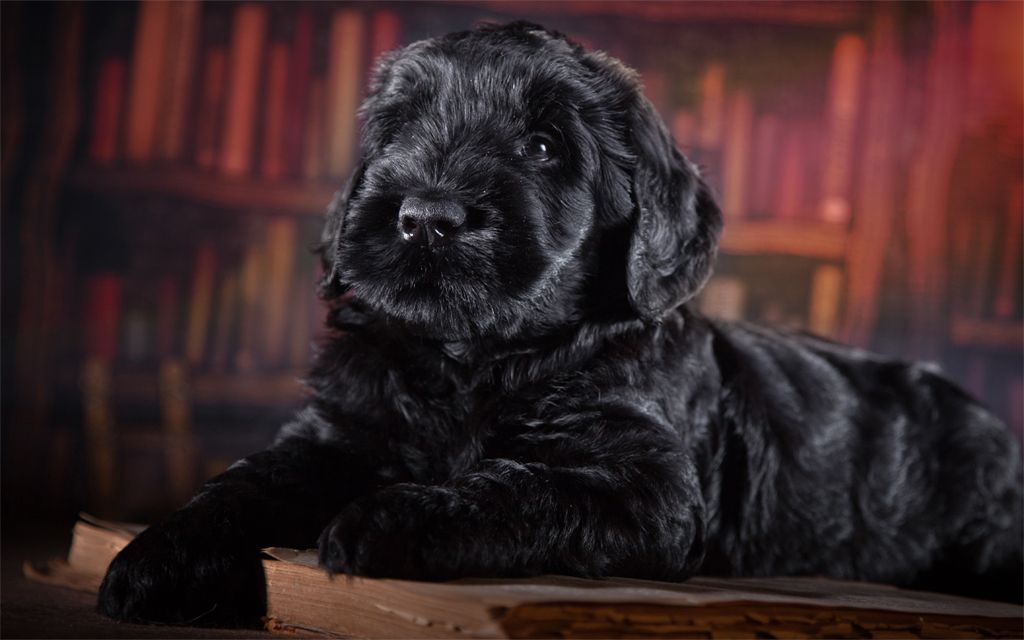 Black Russian Terrier Puppy image