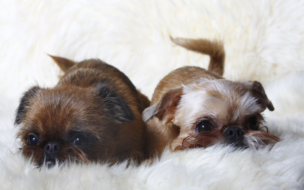 Red Brussels Griffon Puppies Picture