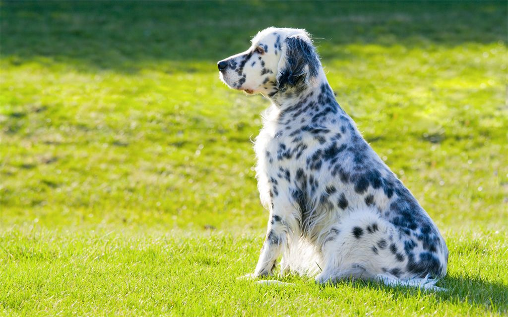 White with markings English Setter picture