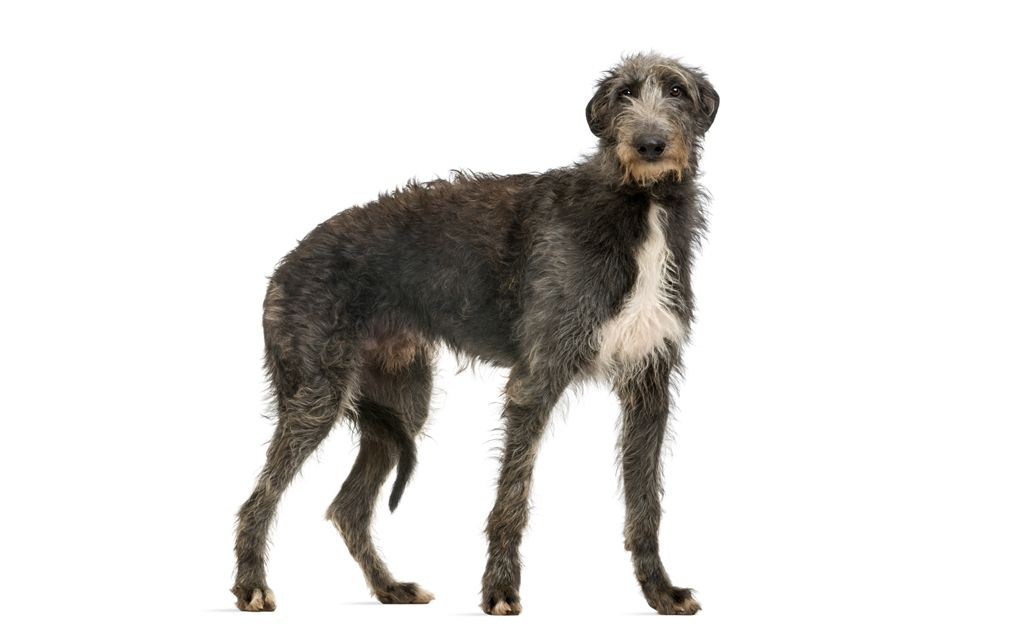 Scottish Deerhound image