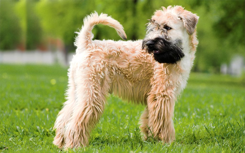 Soft Coated Wheaten Terrier image