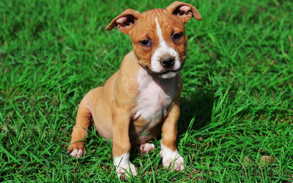 Spiksplinternieuw American Staffordshire Puppies Breed information & Puppies for Sale TA-61