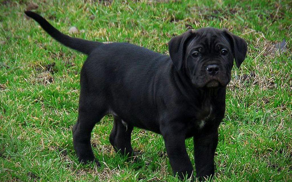 Black Cane Corso Puppy picture