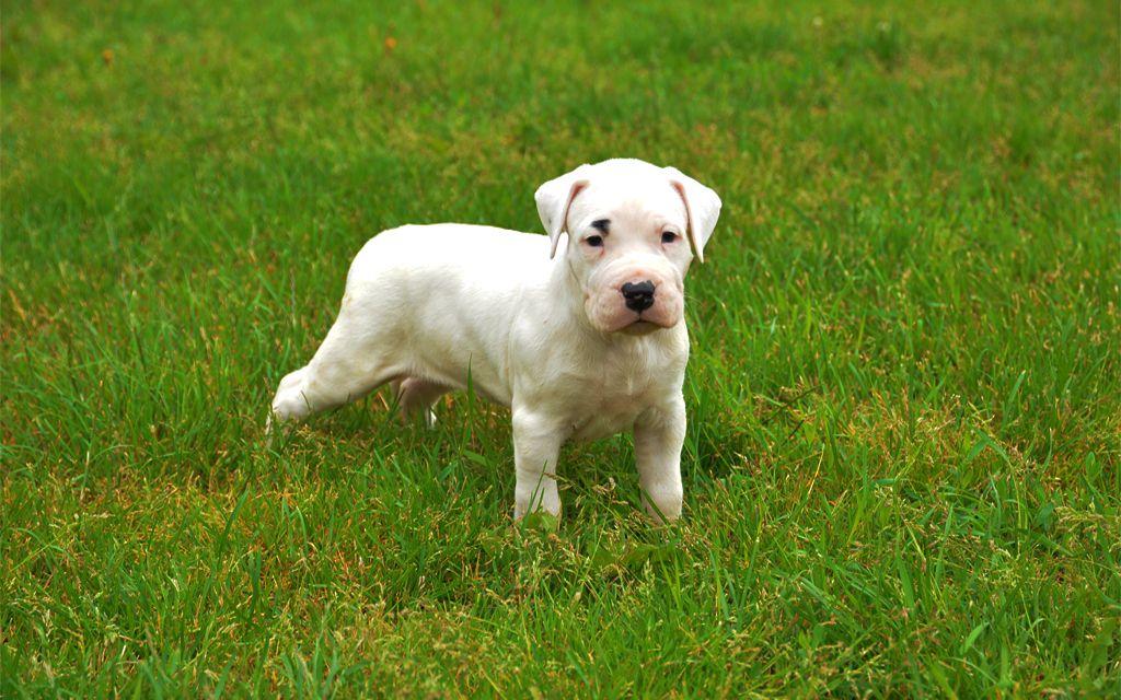 White Dogo Argentino Puppy image