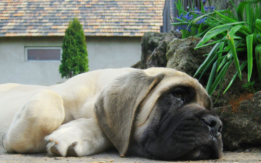 SandEnglish Mastiff Puppy image