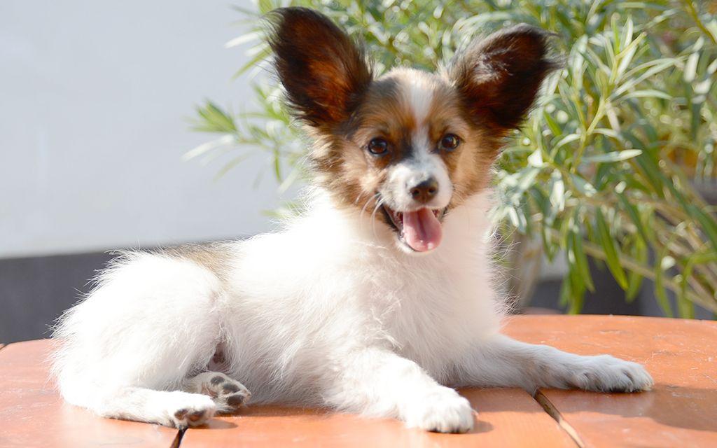 Tricolor Papillon Puppy picture
