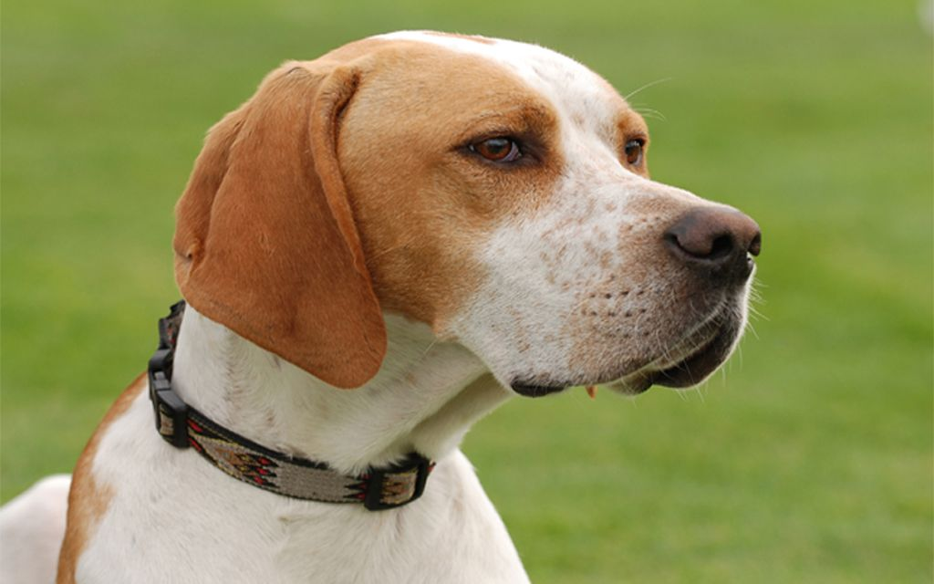White with markings Pointer image