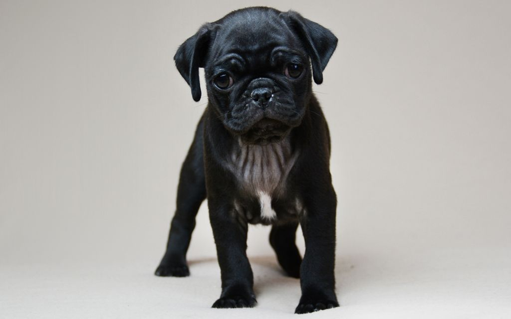 Black Pug Puppy picture