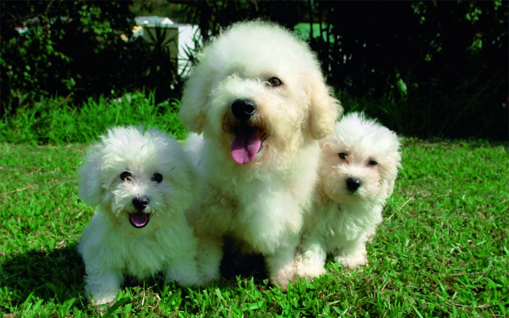 White Bichon Frise puppies image