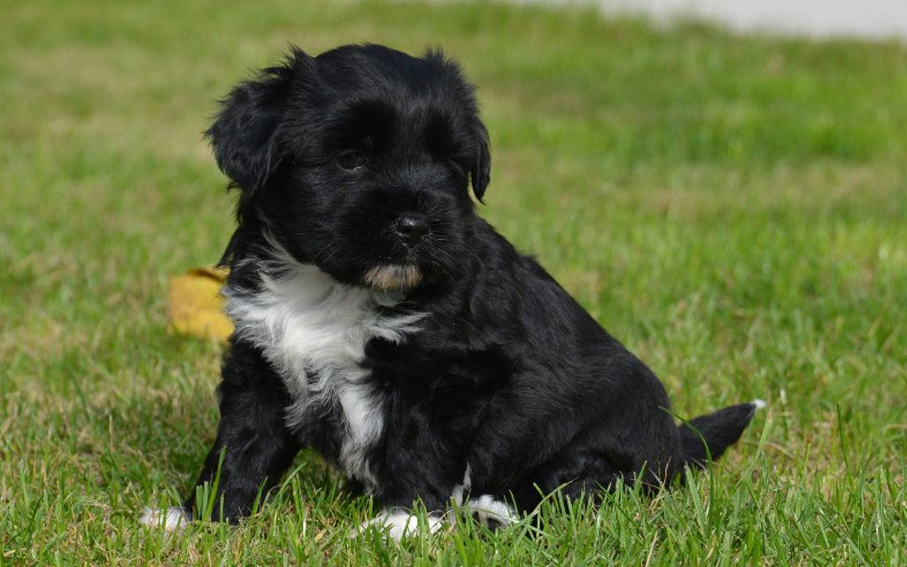 Black with White marking Tibetan Terrier Puppy picture