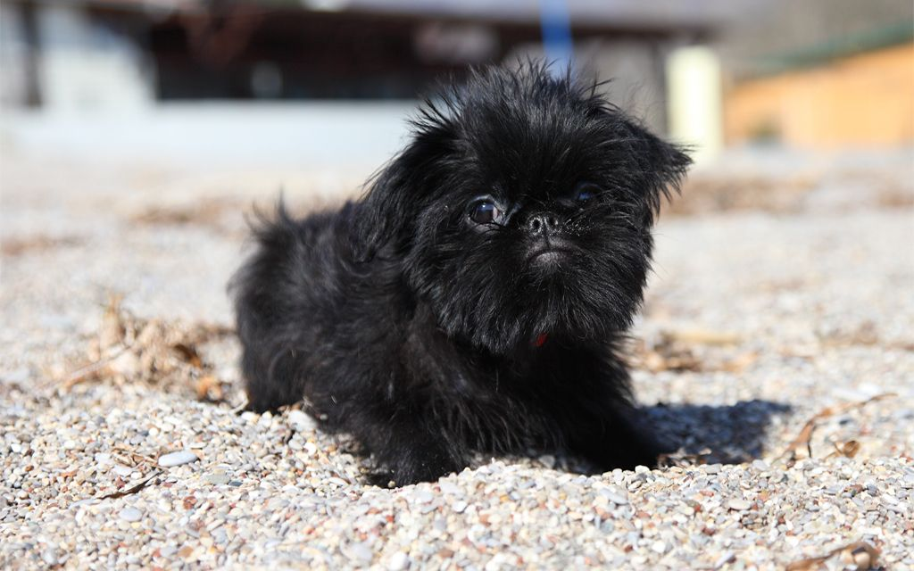 Black Brussels Griffon Puppy image