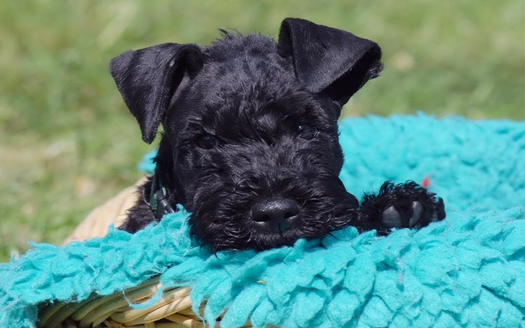 Kerry Blue Terrier Puppy picture