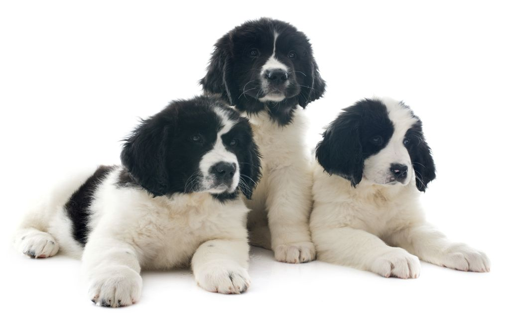 Landseer Puppies picture
