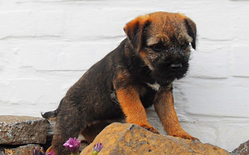 Grizzle Border Terrier Puppy picture