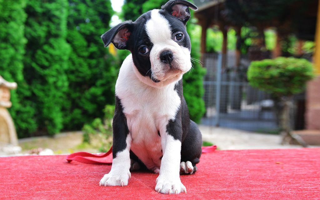 Boston Terrier Puppy image