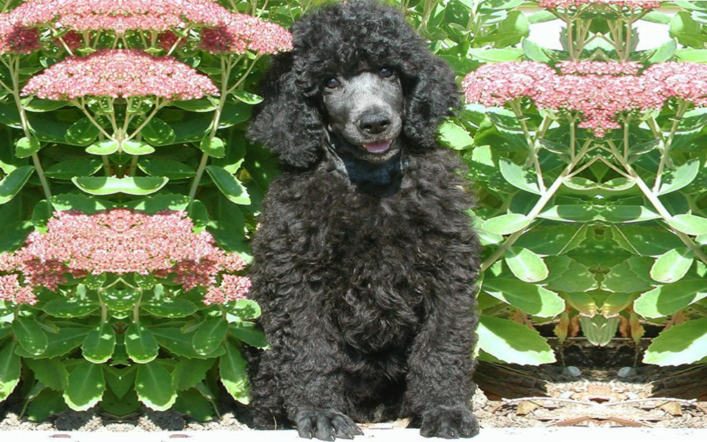 Black Standard Poodle image