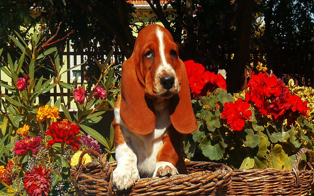 Bicolor Basset Hound picture