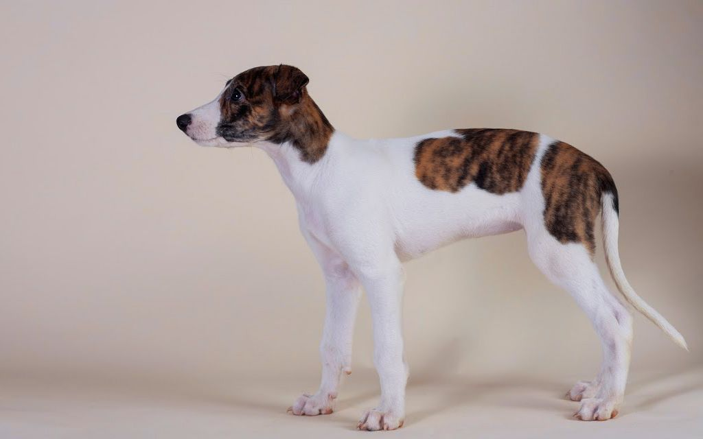 White with markings Hunragian Greyhound Puppy image