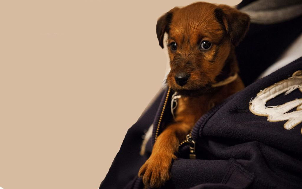 Red Irish terrier Puppy picture