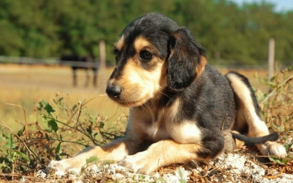Black and Tan Saluki Puppy picture