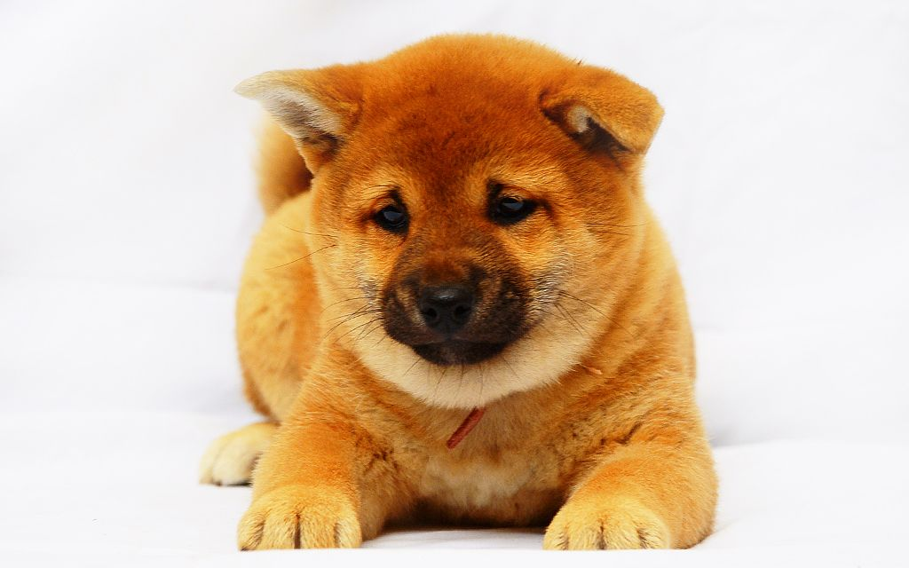 Red Shiba Inu Puppy picture