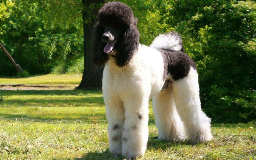 HarleyQuin Standard Poodle picture