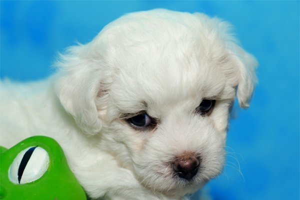 White Bichon Frise puppy picture