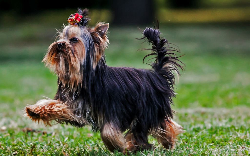 Black and Tan Yorkshire terrier image