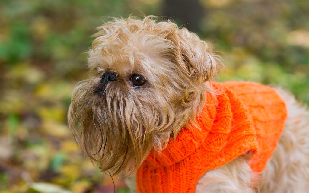 Red Brussels Griffon image