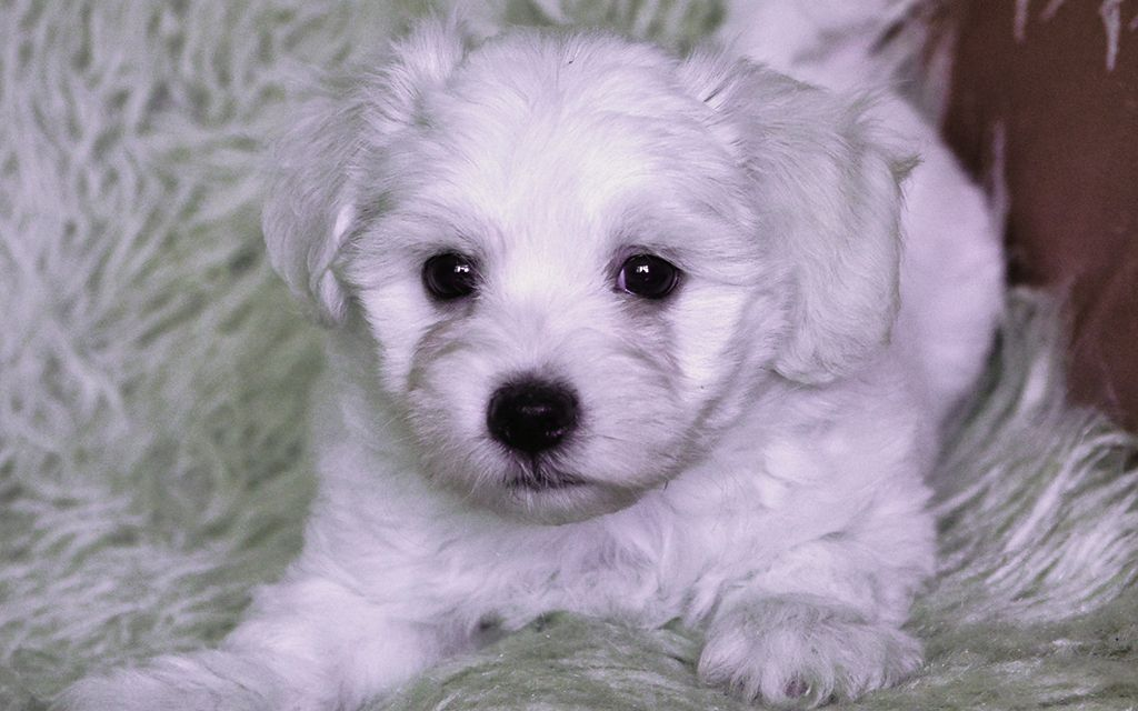 White Bolognese Puppy image