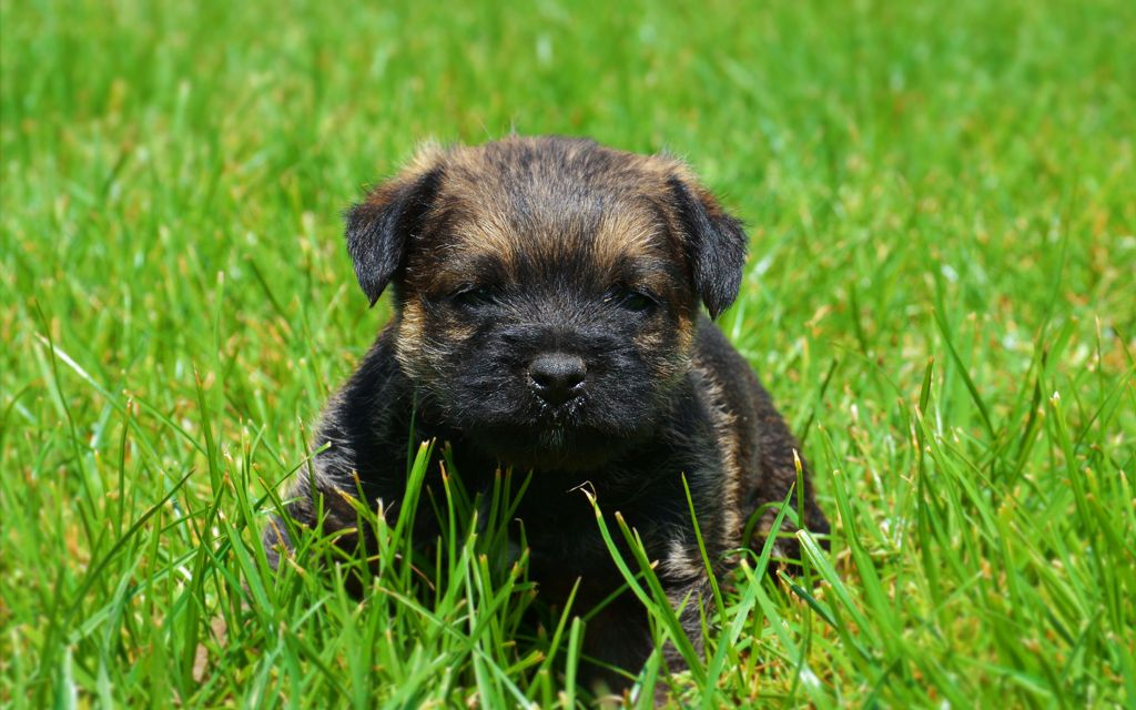 Grizzle Border Terrier Puppy picutre